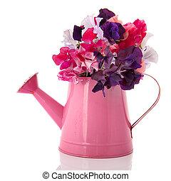 花束, lathyrus, 在, 粉紅色, 噴壺