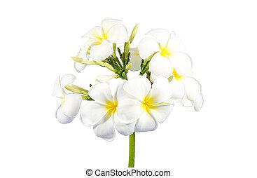 花束, plumeria, 白