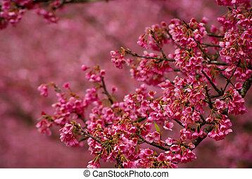 花, さくらんぼ, ピンク