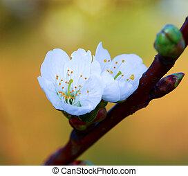 花, さくらんぼ, 小枝