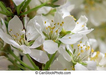 花, さくらんぼ, 抽象的