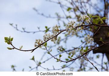 花, さくらんぼ, 白