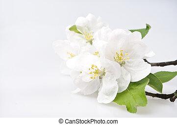 花, さくらんぼ, 白, 木, 背景