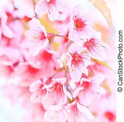 花, さくらんぼ, 背景, 花, sakura