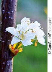 花, さくらんぼ, bokeh, 背景