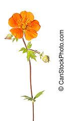 花, の, potentilla, atrosanguinea