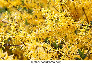 花, ばらまかれる, 黄色, forsythia, ブランチ