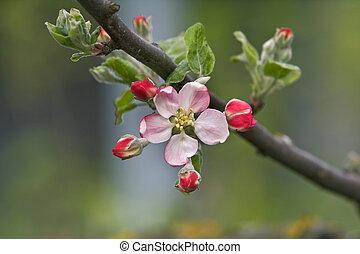花, アップル