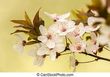 花, アプリコット