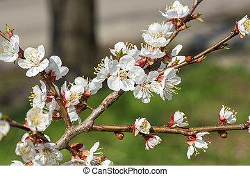 花, アプリコット, 花, 春