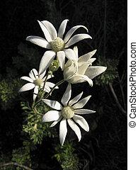 花, オーストラリア人, フランネル