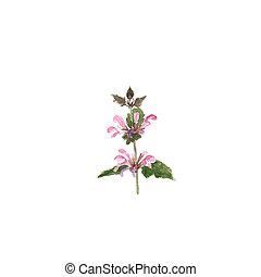 花, カラフルである, ハーブ, leaves., イラスト, 野生, 白, 植物