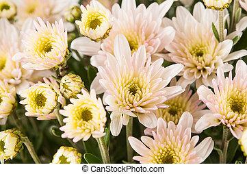 花, クローズアップ, 菊