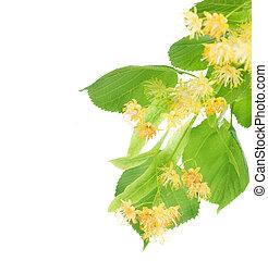 花, シナノキ, 木, ボーダー