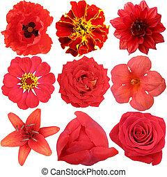 花, セット, 隔離された, 赤い白
