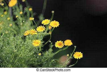 花, デイジー, 黄色,  dahlberg