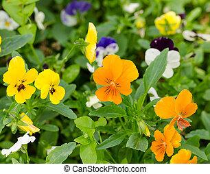 花, パンジー, 三色旗, pensies, ビオラ