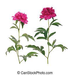 花, ピンク, シャクヤク