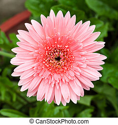 花, ピンク, gerbera