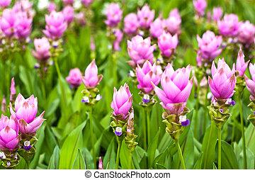 花, フィールド, チューリップ, シャム