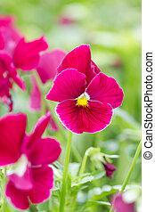 花, フィールド, 赤, パンジー