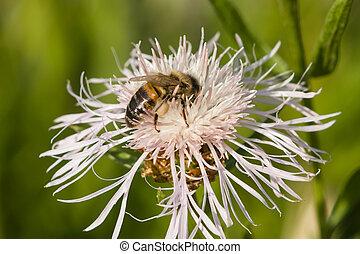 花, フォーカス, マクロ, 蜂, 蜂蜜, 精選する, knapweed, 白