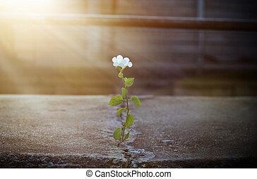 花, フォーカス, 通り, 太陽光線, ひび, 成長する, 白, 柔らかい