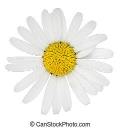 花, マーガレット