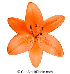 花, ユリ, 隔離された, 背景, オレンジ, 白, 開いた