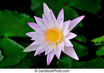 花, ロータス