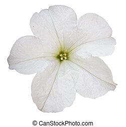 花, 上に, 隔離された, 背景, 白, ペチュニア