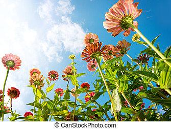 花, 上に, 青, sky., zinnia, flower., 秋, 花