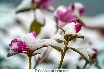 花, 中に, ∥, 雪, close-up.