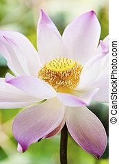 花, 咲く, ロータス