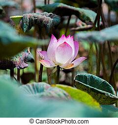 花, 咲く, ロータス, ピンク