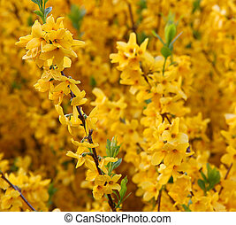 花, 咲く, 黄色, forsythia, ブランチ