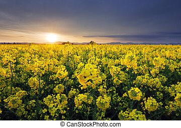花, 太陽, 風景, フィールド, 菜種, 設定