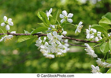 花, 小枝, さくらんぼ, 白