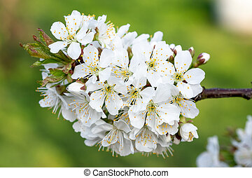 花, 春の花, 木, さくらんぼ
