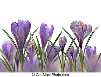 花, 春, クロッカス