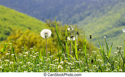 花, 春, タンポポ