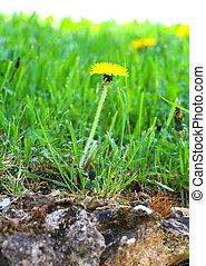 花, 春, タンポポ, 黄色