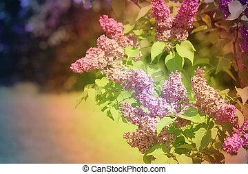 花, 春, ライラック, 美しい
