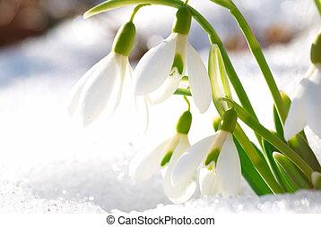 花, 春, snowdrop