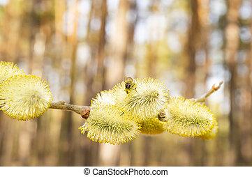 花, 柳樹, 春天, -, 黃色, 蜜蜂, 地球日