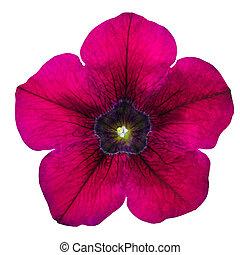 花, 栄光, 紫色, 隔離された, 朝, 白