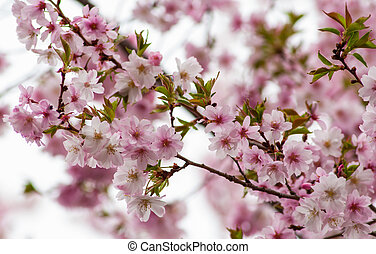 花, 樱桃树