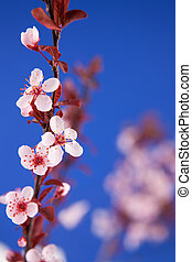 花, 樱桃