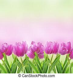 花, 白いチューリップ