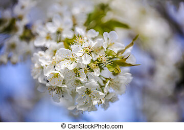 花, 白, さくらんぼ